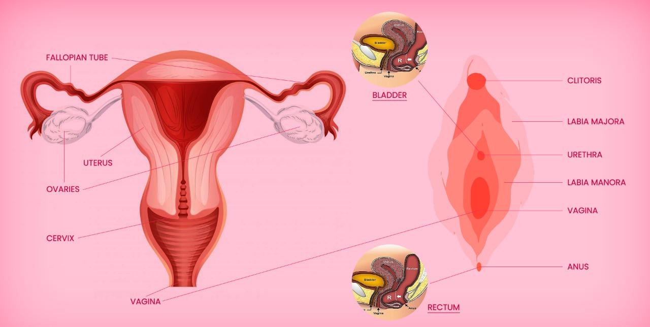 Vulva, female anatomy, female body parts,