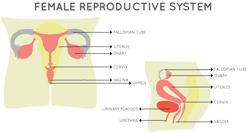 pelvic organs, female reproductive system, vagina diagram,menstrual cups cause prolapse
